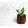 Bladderwort 'Utricularia alpina 'Henry piettier giant'