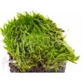 Bladderwort 'Utricularia bisquamata' starter