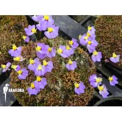 Utricularia bisquamata Flower