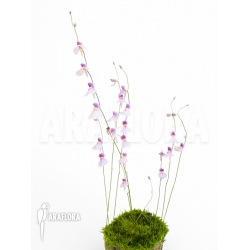 Utricularia blanchetii Starter