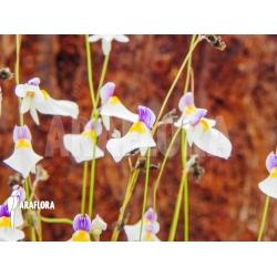 Utricularia blanchetii white flowers