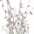 Bladderwort 'Utricularia blanchettii 'Chapada Diamantina'