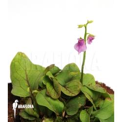 Utricularia calycifida (Gran Sabana)