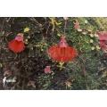 Bladderwort 'Utricularia campbelliana'