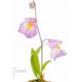 Bladderwort 'Utricularia endresii'