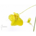 Bladderwort 'Utricularia flaccida'