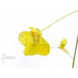 Utricularia flaccida