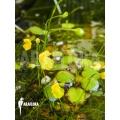 Bladderwort 'Utricularia gibba'