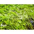 Bladderwort 'Utricularia graminifolia'