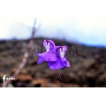 Bladderwort 'Utricularia humboldtii 'Serra do neblina'