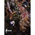 Bladderwort 'Utricularia jamesoniana flower'
