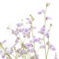 Bladderwort 'Utricularia livida'