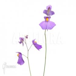 Utricularia longifolia 'XL'