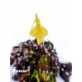 Bladderwort 'Utricularia mannii'
