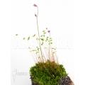 Bladderwort 'Utricularia minutissima' starter