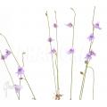 Bladderwort 'Utricularia minutissima 'Gunung tahan'