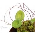 Bladderwort 'Utricularia nelumbifolia'