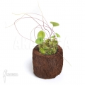 Bladderwort 'Utricularia nelumbifolia 'L'