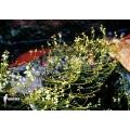 Bladderwort 'Utricularia neottioides'