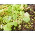 Bladderwort 'Utricularia nephrophylla 'White flower'