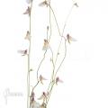 Bladderwort 'Utricularia parthenopipes'