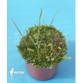 Bladderwort 'Utricularia praelonga'