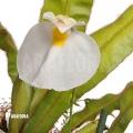Bladderwort 'Utricularia praetermissa'
