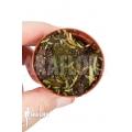 Bladderwort 'Utricularia prehensilis'