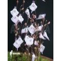 Bladderwort 'Utricularia pubescens 'Serra araca'