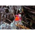 Bladderwort 'Utricularia quelchii'