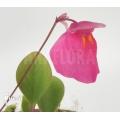 Bladderwort 'Utricularia quelchii 'Auyan'