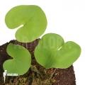 Bladderwort 'Utricularia reniformis 'Mata atlantica' 'L'