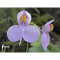 Bladderwort 'Utricularia reniformis 'Mata atlantica' 'S'