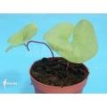Bladderwort 'Utricularia reniformis 'Mata atlantica'