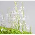 Bladderwort 'Utricularia sandersonii'