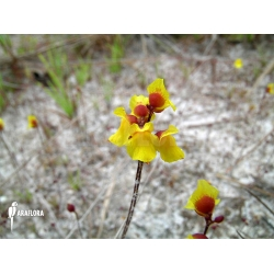 Utricularia sandwithii