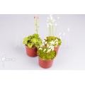 Bladderwort 'Utricularia starter package 3'