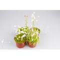 Bladderwort 'Utricularia Starter package 4'