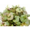 Bladderwort 'Utricularia tricolor'