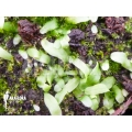 Bladderwort 'Utricularia uniflora'
