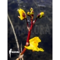 Bladderwort 'Utricularia vulgaris'