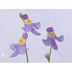 Utricularia warburgii
