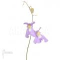 Bladderwort 'Utricularia x alpina x humboldtii 'Nudlinger flair'