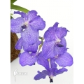Orchid 'Vanda x Blue Magic'