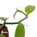 Vanilla orchid 'Vanilla planifolia'