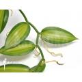 Vanilla orchid 'Vanilla planifolia variegated'
