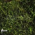 Java moss 'Vesicularia dubyana'