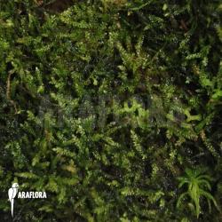 Vesicularia dubyana (java moss)