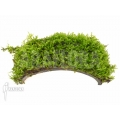 Vesicularia dubyana 'Java moss' band