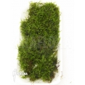 Vesicularia dubyana 'Java moss' sheet